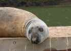 Seal basking by River Dart